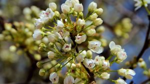 spriring bradford pear 2015 bloom devotional