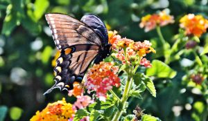 black butterfly blessed devotional 8-2015